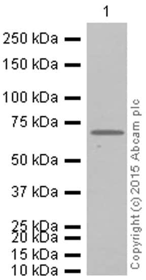 Western blot - Anti-Alas1 antibody [EPR10247] - Mitochondrial Marker (ab154860)