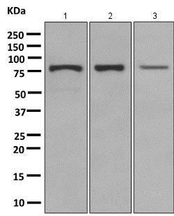 Western blot - Anti-TRIM56 antibody [EPR10583] (ab154862)