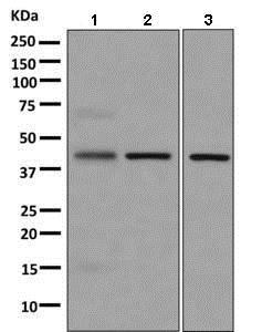 Western blot - Anti-APOL3 antibody [EPR8238(2)] (ab154869)