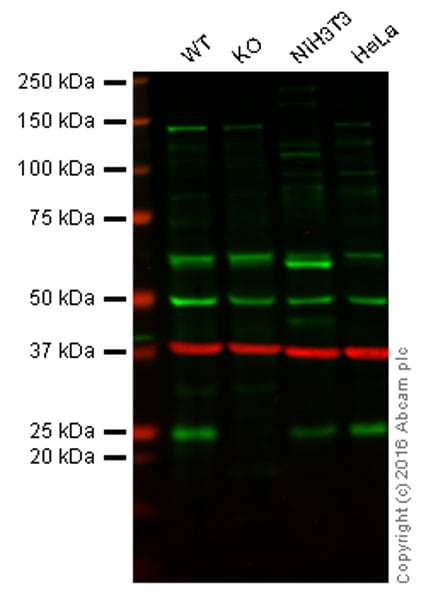 Western blot - Anti-HP1 gamma/CBX3 antibody [EPR10465(B)] (ab154871)