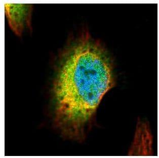 Immunocytochemistry/ Immunofluorescence - Anti-Syntenin antibody (ab154940)