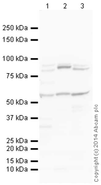 Western blot - Anti-OMA1  antibody (ab154949)