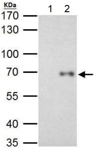 Immunoprecipitation - Anti-Rel B antibody (ab154957)