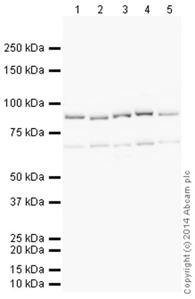 Western blot - Anti-AFG3L2 antibody (ab154990)