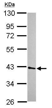 Western blot - Anti-UFD1L antibody (ab155003)