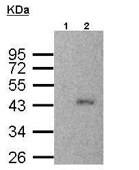 Immunoprecipitation - Anti-SMYD3 antibody (ab155018)