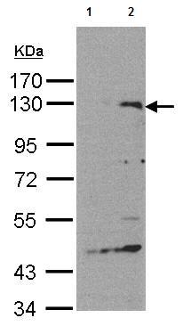 Western blot - Anti-Spa-1 antibody (ab155024)