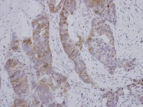 Immunohistochemistry (Formalin/PFA-fixed paraffin-embedded sections) - Anti-BOULE/BOLL antibody (ab155027)