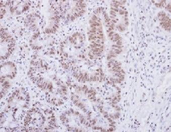 Immunohistochemistry (Formalin/PFA-fixed paraffin-embedded sections) - Anti-Alpha-synuclein antibody (ab155038)
