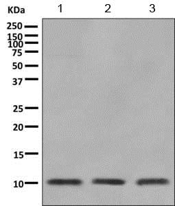 Western blot - Anti-CKS2 antibody [EPR7946(2)] (ab155078)