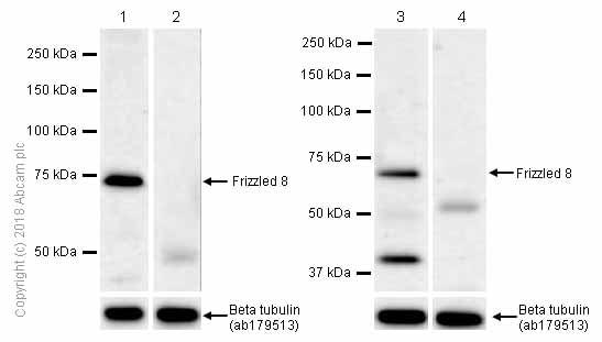 Western blot - Anti-Frizzled 8 antibody [EPR7308(2)] (ab155093)
