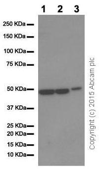 Western blot - Anti-ENO1 antibody [EPR10863(B)] (ab155102)