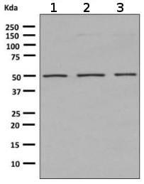 Western blot - Anti-Angiopoietin 2/ANG2 antibody [EPR2891(2)] (ab155106)