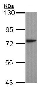 Western blot - Anti-LysRS antibody (ab155114)