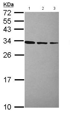 Western blot - Anti-RPL7A antibody (ab155147)