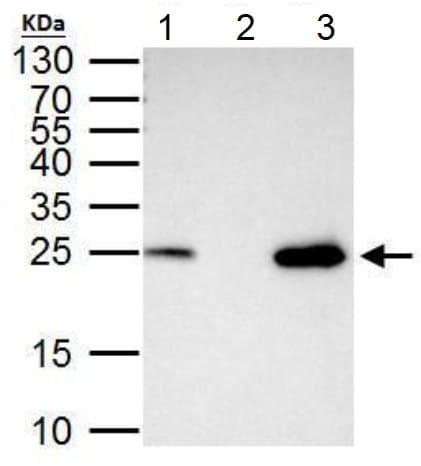 Immunoprecipitation - Anti-mtTFA antibody (ab155240)