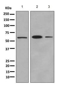 Western blot - Anti-UAP1 antibody [EPR10259] (ab155287)
