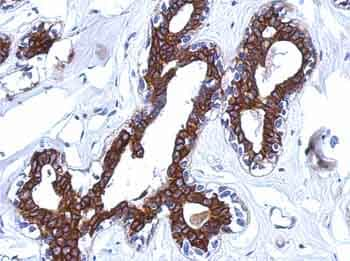 Immunohistochemistry (Formalin/PFA-fixed paraffin-embedded sections) - Anti-AGBL4 antibody (ab155314)