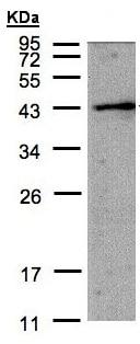 Western blot - Anti-AMID antibody - N-terminal (ab155326)