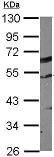 Western blot - Anti-TUBA1C antibody (ab155330)