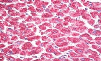 Immunohistochemistry (Formalin/PFA-fixed paraffin-embedded sections) - Anti-MSK1 antibody (ab155405)