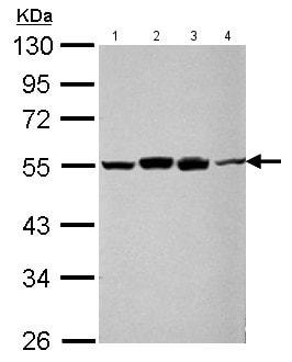 Western blot - Anti-TIP49A antibody (ab155503)