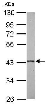 Western blot - Anti-E3 ubiquitin-protein ligase MUL1 antibody (ab155511)