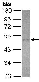 Western blot - Anti-SEC14L2/TAP antibody (ab155512)