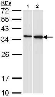 Western blot - Anti-Pirin/PIR antibody (ab155516)