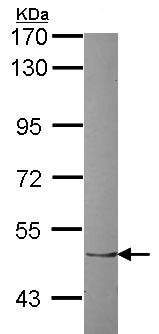Western blot - Anti-ZNF212 antibody (ab155534)