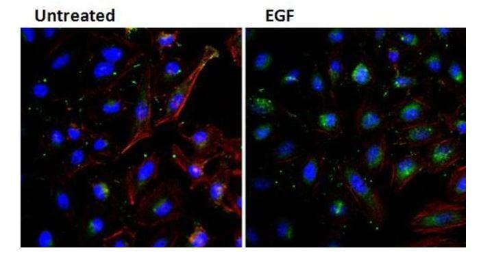 Immunocytochemistry - Biotin Anti-EGF antibody [3A8] (ab155576)