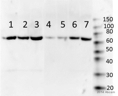 Western blot - Anti-Basophils antibody [2D7] (ab155577)