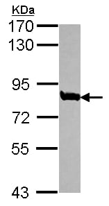 Western blot - Anti-TRAP80 antibody (ab155593)
