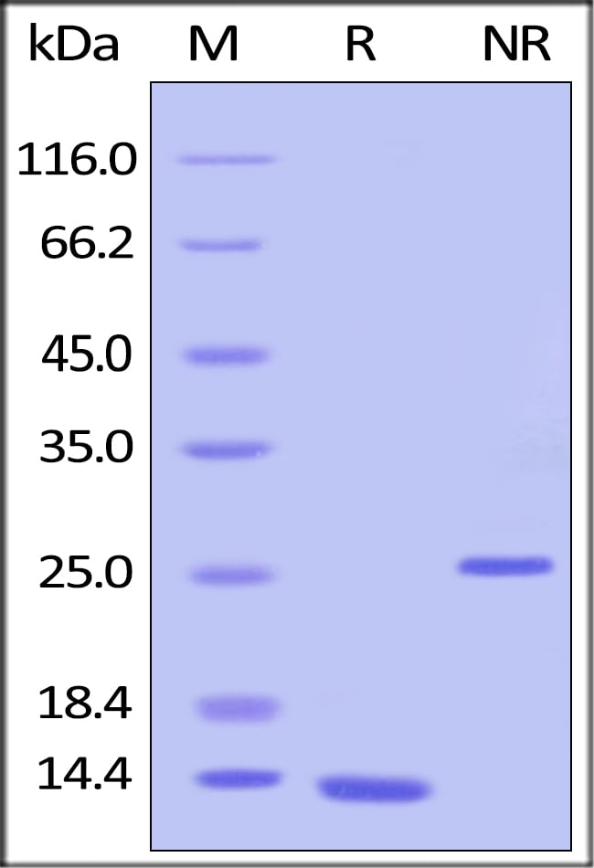 SDS-PAGE - Recombinant human TGF beta 1 protein (ab155613)