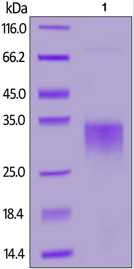 SDS-PAGE - Recombinant Human EPO protein (ab155618)