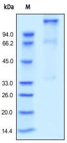 SDS-PAGE - Recombinant human IGF1 Receptor protein (ab155622)