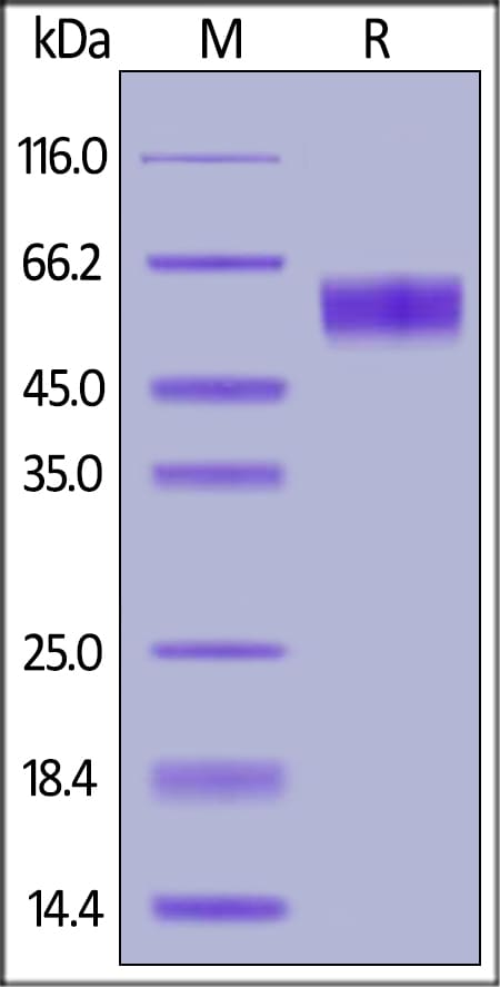 SDS-PAGE - Recombinant human Fas protein (ab155635)