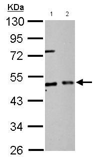 Western blot - Anti-EIF2S2/EIF2B antibody (ab155649)