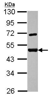 Western blot - Anti-SF3a66 antibody (ab155652)
