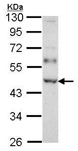 Western blot - Anti-WTAP antibody (ab155655)