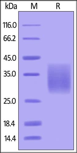 SDS-PAGE - Recombinant Human Activin Receptor Type IIB/ACVR2B protein (His tag) (ab155714)