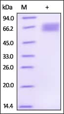 SDS-PAGE - Recombinant Human Dkk3 protein (ab155717)