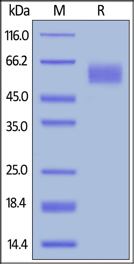 SDS-PAGE - Recombinant human Poliovirus Receptor/PVR protein (ab155723)