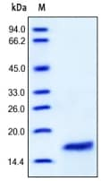 SDS-PAGE - Recombinant human IL2 protein (ab155738)