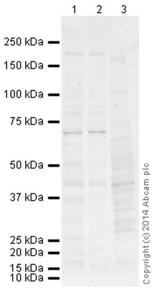 Western blot - Anti-ZNFN1A4 antibody (ab155754)