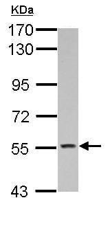 Western blot - Anti-KCNG4 antibody (ab155772)