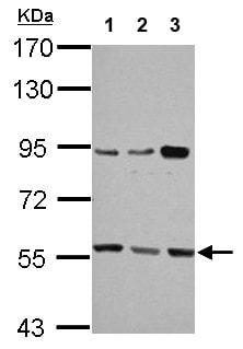 Western blot - Anti-HMGCS1 antibody (ab155787)