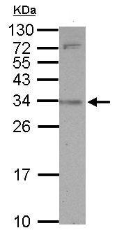 Western blot - Anti-SLAMF9 antibody (ab155909)