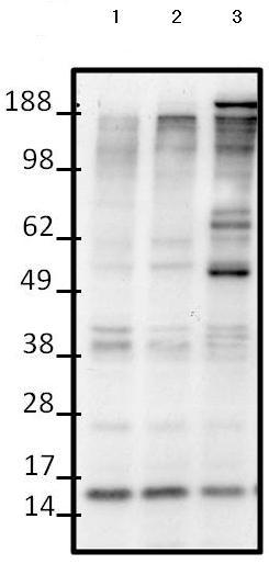 Western blot - Anti-Huntingtin (phospho S434) antibody (ab155931)