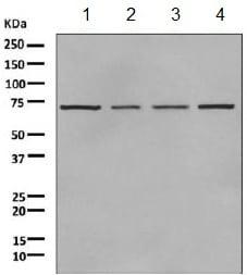 Western blot - Anti-DYRK3 antibody [EPR6078(2)] (ab155949)